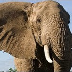 Video BBC elefantes