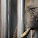 Video de un ataque de elefante en Hawai