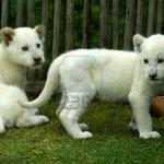 Vídeo de un cachorro león blanco