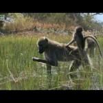 Monos en el agua (Planeta tierra BBC)