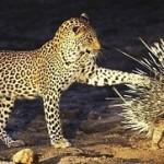 Leopardo y puercoespín (HD)