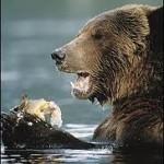 Osos Grizzlies cazando salmones