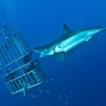 Ataque tiburón blanco grabado con videocamara
