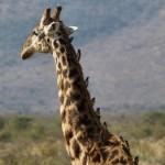 Vieja jirafa comida viva por pájaros