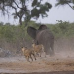 Leones contra elefantes