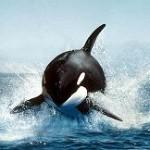 Orcas cazando delfines