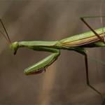 Apareamiento entre mantis religiosas