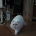 El Gato Himalayo Impasible en la siesta