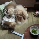 El Impasible Gato Himalayo se supera