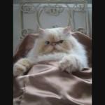 El Impasible Gato Himalayo, vermut y siesta