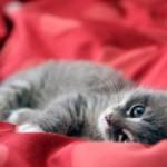 Gato parlante y cariñoso