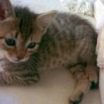 Gato pequeño jugando con un hilo