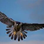Halcón peregrino vs paloma (Vídeo BBC)