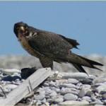 Halcón peregrino ataca a un halcón de cola roja