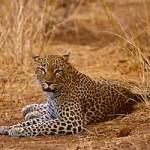 Leopardo caza una gacela (HD)