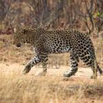 Leopardo caza jabalís (HD)