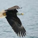 Lucha entre águilas (HD)