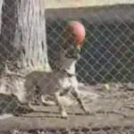 El perro futbolista de Aldeanueva de la Vera