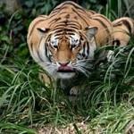 Tigre de Bengala (HD)