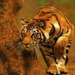 Tigre cazando con éxito