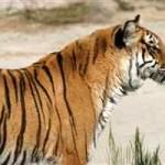Tigre cazando antílopes en Ranthambore (HD)