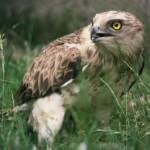 Águila albela