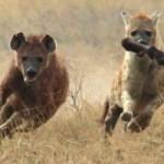 León caza a una hiena