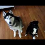 La perra habladora Mishka dice Hello