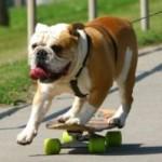 El perro patinador