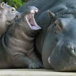 Hipopótamos y sus crías