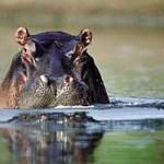 Hipopótamos se relajan en el agua