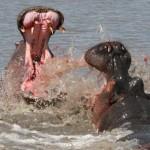Brutal pelea entre hipopótamos