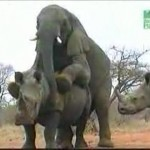 Elefante montando a una rinoceronte