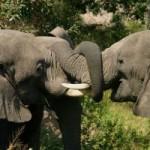 Sudáfrica: Elefantes Africano (HD)