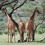 Sudáfrica: Escondida con Jirafas