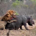 Leones devoran a un hipopótamo en el Kruger
