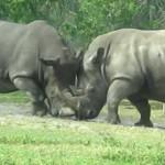 Lucha entre dos rinocerontes blancos