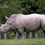 Sudáfrica: El Rinoceronte Blanco