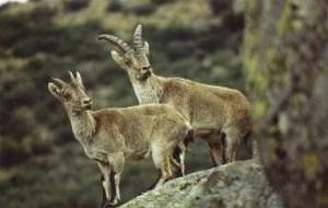 Animales en video Cabras montesas