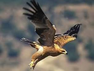 El Hombre y la Tierra: El águila imperial ibérica