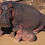 La educación de los jóvenes hipopótamos