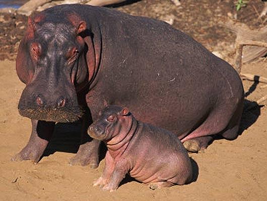 Animales en video Hipopotamo joven