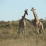 Enfrentamiento entre jirafas