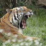 Documentales online: El Tigre tigris