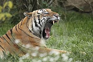 Animales en video Tigre tigris