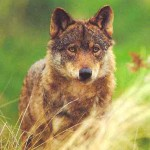 Documental online: Las Montañas del Lobo
