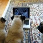 Perros carlinos se ven en el ordenador