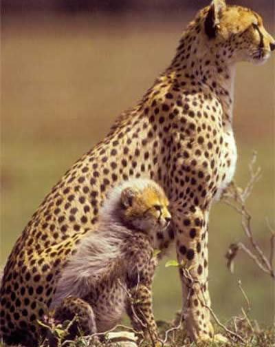 Una guepardo se enfrenta a un león para proteger a sus crías