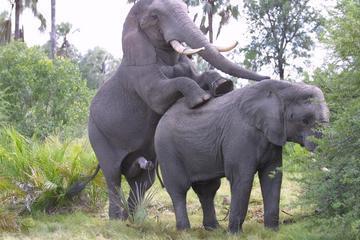 Apareamiento entre elefantes en cautividad