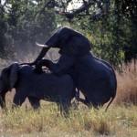 Apareamiento entre elefantes en cautividad 2